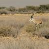 Namibië; Springbok; Antidorcas marsupialis; Namib Desert