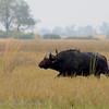 Botswana; Okavango; African buffalo; Cape buffalo; Syncerus caffer; Buffel; Buffle d'Afrique; Kafferbuffel; Yellowbilled oxpecker; Buphagus africanus; Geelbekrenostervoël; GelbschnabelMadenhacker; Piquebœuf à bec jaune; Geelsnavelossenpikker