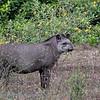 Tapir; Laaglandtapir; Tapirus terrestris; South American tapir; Tapir du Brésil; Flachlandtapir