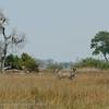 Botswana; Graeter kudu; Tragelaphus strepsiceros; Grand koudou; Grosser Kudu; Koedoe; Okavango