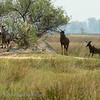 Botswana; Okavango; Common tsessebe; Sassaby; Damaliscus lunatus lunatus; Basterhartbees; Leierantilope; Halbmondantilope; Sassabi; Lierantilope