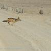 Namibië; Blackbacked jackal; Canis mesomelas; Namib Desert; Rooijakkals; silwerrugjakkals; Schabrackenschakal; Zadeljakhals; Chacal à chabraque