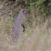 Botswana; Okavango; Banded mongoose; Mungos mungo; Gebande muishond; Mangouste rayée; Zebramanguste; Zebramangoeste