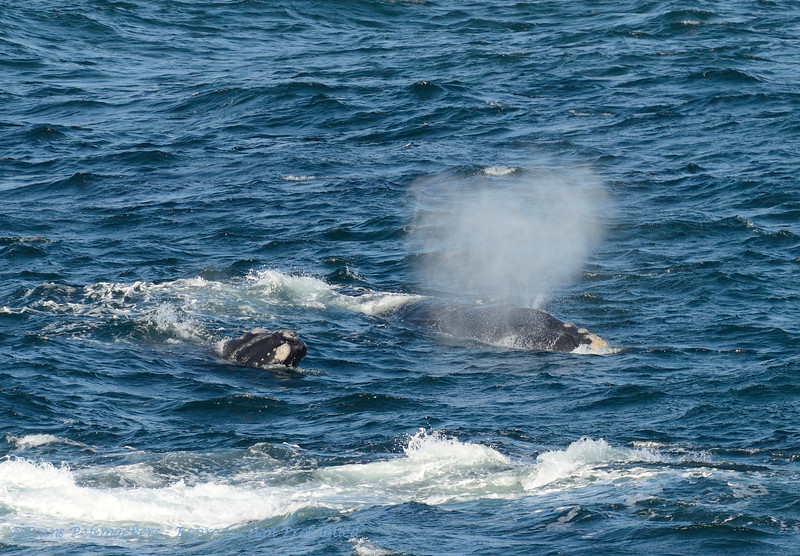SouthAfrica; Southern right whale; Eubalaena australis; Suidelike noorkapper; Südkaper; Baleine franche australe; Zuidkaper
