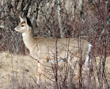 White Tailed Deer - Plum Island