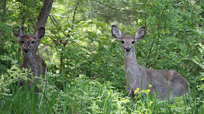 White Tailed Deer 2012 in Wenham, MA
