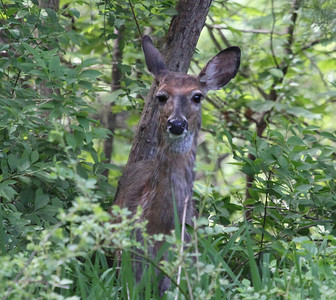 White Tailed Deer 2012 in Wenham , MA