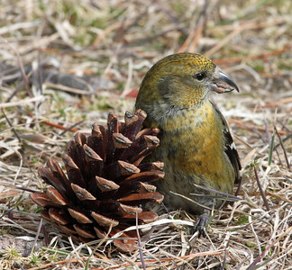 Female White Winged Crossbill