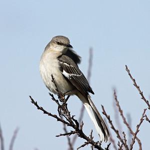 Shrike - Plum Island