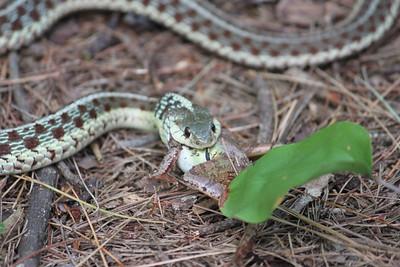 Garter Snake eating a frog