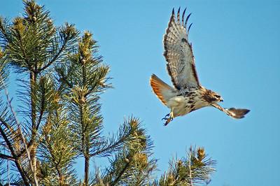 Red Tail Hawk in Flight - Newburyport