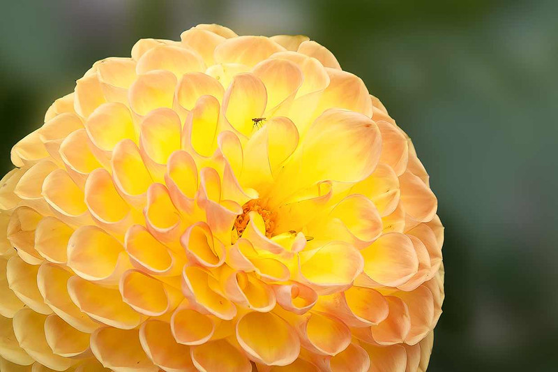 21st August  Golden Yellow Pom Pom Dahlia head.  Looks very much like the petals of the Olympic Flame