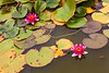 21st Aug 12:  Pink Water Lillies-Avebury Manor