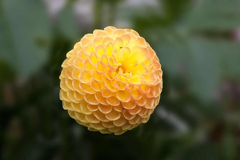 21st August 12:  Golden Yellow Pom Pom Dahlia head