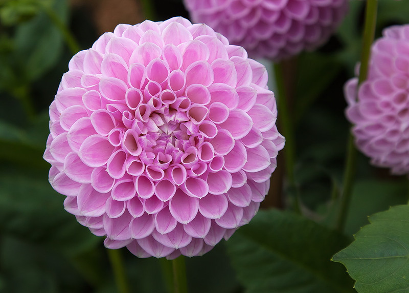 A beautiful pink Dahlia flower at Avebury Manor