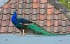 22nd Apr 12:  Peacock at Nunnington Hall