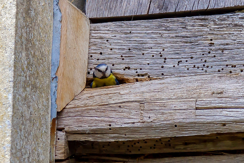 16th May 2019: The Blue Tit is leaving to get more food for some noisy chicks at Great Chalfield Manor