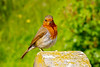 16th May 2019:  The Robin is outside All Saints Church at Great Chalfield