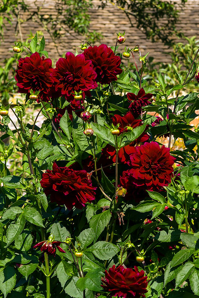 1st Oct 2015:  Red Dahlias