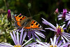 1st Oct 2015:  A Painted Lady in Hidcote Gardens