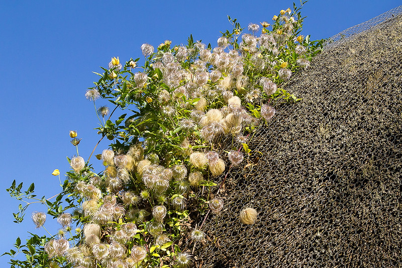 1st Oct 2015:  Clematis on a thatched roof