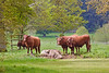 20th May 12:  Young cattle at Kingsto Lacey.  There is nothing to stop then traming over the house lawns