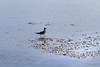 4th Jun 2015:  A paddling gull at East Cowes