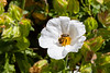 4th Jun 2015:  A Bee enjoying collecting at Quarr Abbey on the Isle of Wight