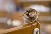 10th Sep 08:   Berlin sparrow