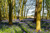 5th May 2016:  Bluebell Wood in Old Scriven