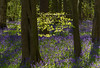 5th May 2016:  Leafy sunlight in Old Scriven Woods