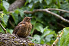 7th Aug 10:  Young Blackbird in Abbey House garden in Malmsbury