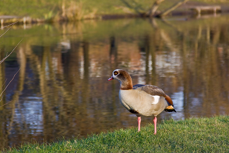 30th Jan 12:  An Egyptian Goose at South Hill Park