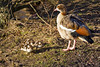 25th Feb 12:  Egyptian Goose and  three of the five chicks