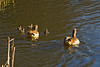 25th Feb 12:  The Egyptian Geese family swim in the lake at South Hill Park