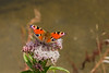 16th Jul 14:  A Flatford beauty,  A 'Peacock' butterfly