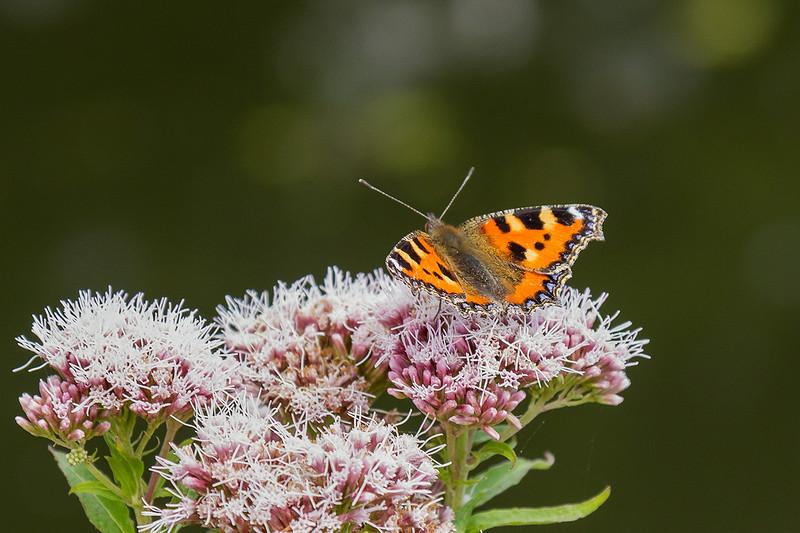 16th Jul 14:  Tortoiseshell buterfly at Flatford Mill