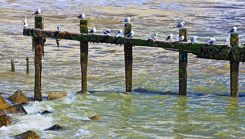 4th Jul 12:  Gulls at Seaford Head