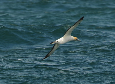 Gannets and other Sea birds
