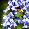 'Speckled Wood' Butterfly on the Bluebells.