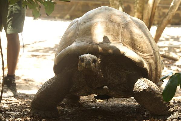 Giant Tortoise - Ile aux Aigrettes