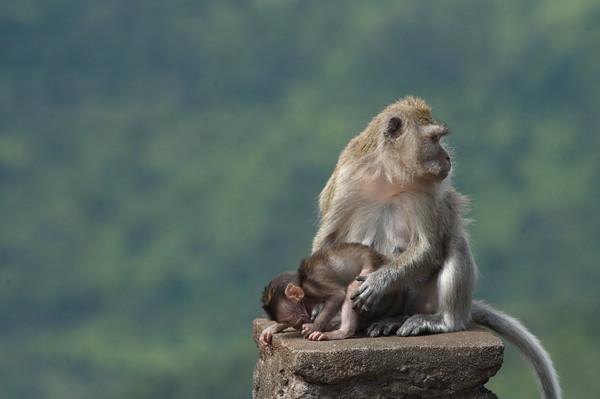 Mauritian Cynomolgus Monkey