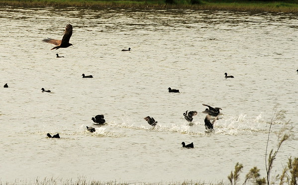 Marsh Harrier & other waterfowl