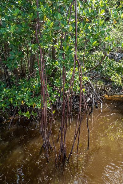 Mangrove Wilderness - Everglades, FL - USA