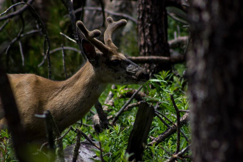 A Side Profile of the Same Mule Deer