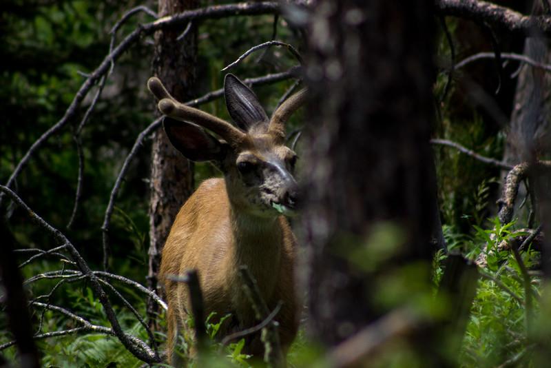 Mule Deer Looks Out