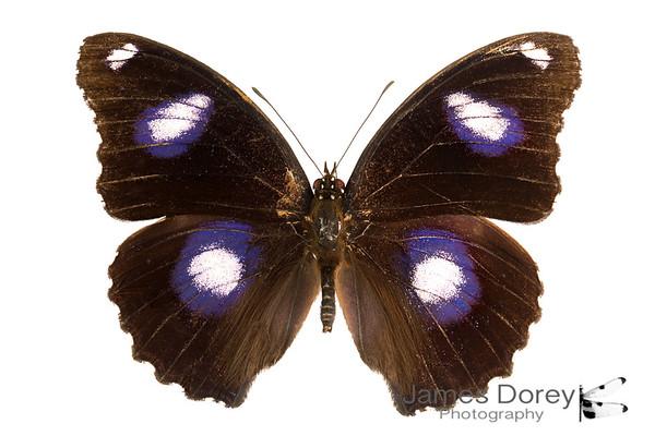 Hypolimnas bolina (male morph 1)