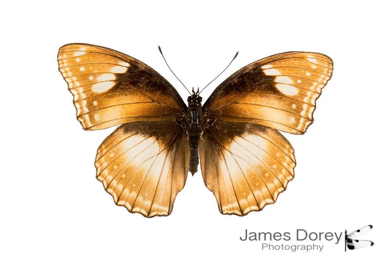 Hypolimnas bolina (female morph 1)