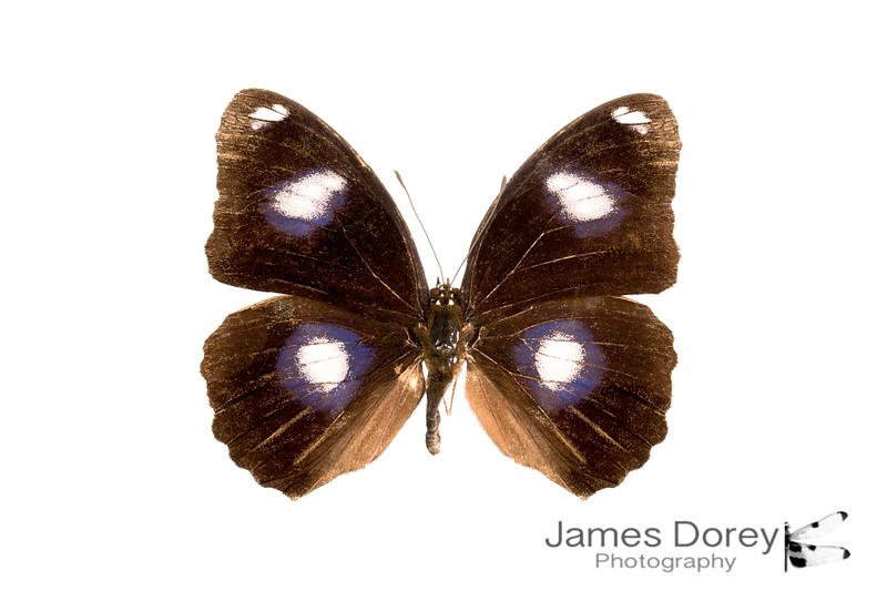 Hypolimnas bolina (male morph 2)