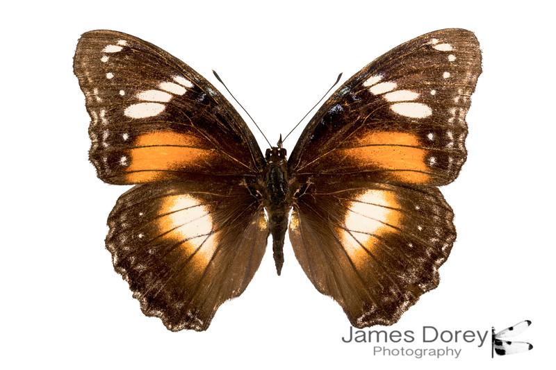 Hypolimnas bolina (female morph 2)